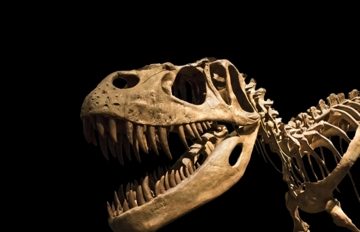 http://www.shutterstock.com/pic-92201320/stock-photo-tyrannosaurus-rex-skeleton-isolated-on-black.html