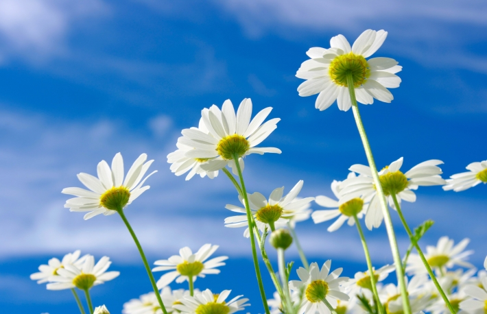 http://www.shutterstock.com/pic-125356928/stock-photo-white-daisies-on-blue-sky-background.html
