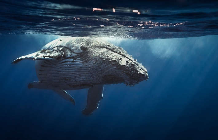http://www.shutterstock.com/pic-239709550/stock-photo-queen-whale.html