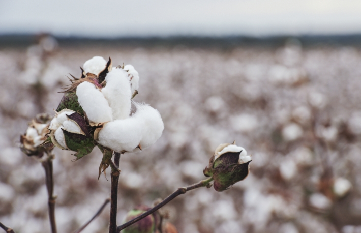 http://www.shutterstock.com/pic-418082524/stock-photo-cotton-fields-ready-for-harvesting-in-oakey-queensland.html?src=UgQw97Ceh2jYed24b9a94g-1-0