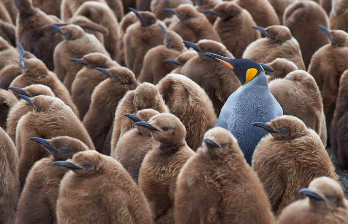 http://www.shutterstock.com/pic-360006152/stock-photo-adult-king-penguin-aptenodytes-patagonicus-standing-amongst-a-large-group-of-nearly-fully-grown-chicks-at-volunteer-point-in-the-falkland-islands.html