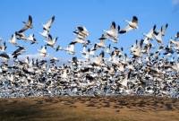 geese, migrate