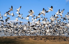 https://www.shutterstock.com/image-photo/thousands-snow-geese-fly-hillside-middle-97438808?src=E1x69_FaVHx8ifHmInO6KQ-1-16