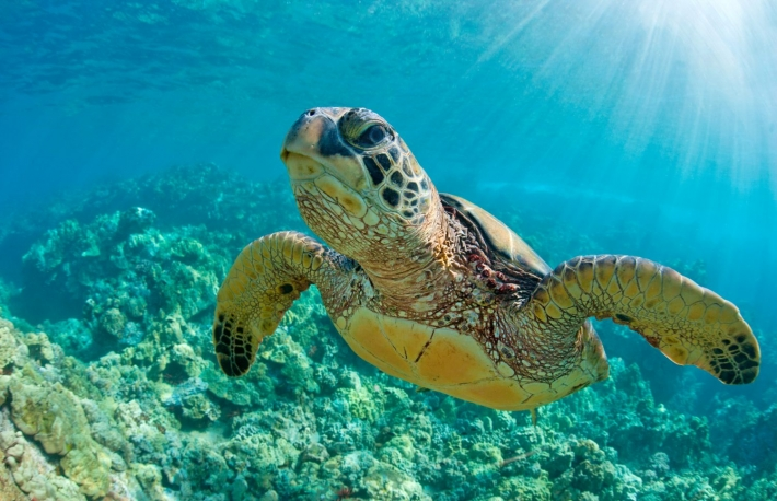 https://www.shutterstock.com/image-photo/sea-turtle-close-over-coral-reef-337861145?src=U2uYgHhEMxoYEfUknFLB9w-1-7