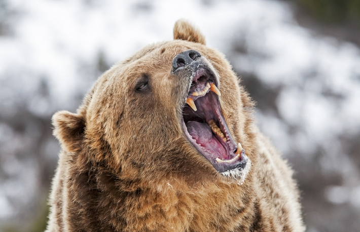 https://www.shutterstock.com/image-photo/grizzly-roaring-warning-590795564