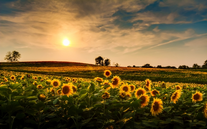 https://www.shutterstock.com/image-photo/view-sunflower-field-kansas-152717195?src=360bqWDpx64PSfVRIk7Eog-1-2