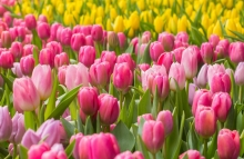 https://www.shutterstock.com/image-photo/tulip-beautiful-bouquet-tulips-colorful-springcolourful-268979756?src=oFc6rbxsIsBxzjsTvW8aaA-1-93