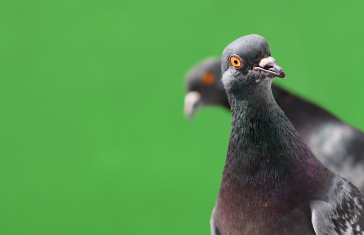 https://www.shutterstock.com/image-photo/funny-pigeons-isolated-on-green-background-1090532108?src=3v07DctIlZ3-S5UWqM5kXw-1-13