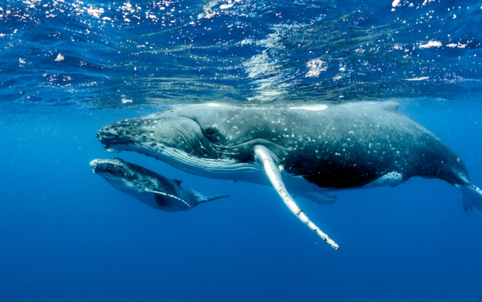 Humpback whale image via Shutterstock