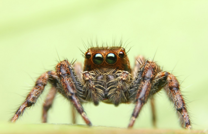 https://www.shutterstock.com/image-photo/jumping-spider-thailand-454492744