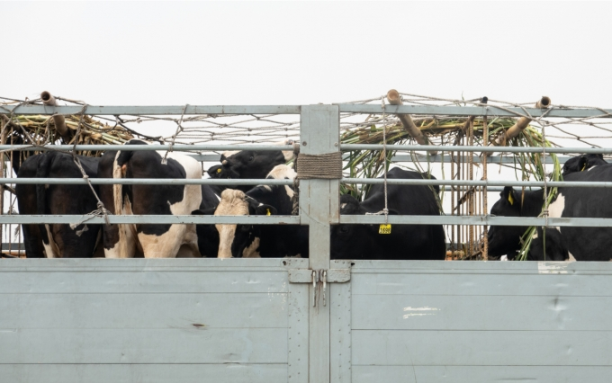 https://www.shutterstock.com/image-photo/dairy-heifers-during-transportation-airport-1574681221