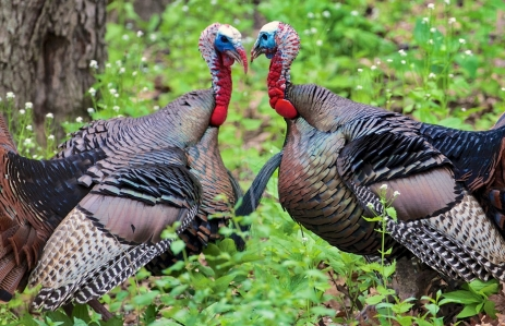 https://www.shutterstock.com/image-photo/two-wild-turkeys-nose-challenge-female-741095380