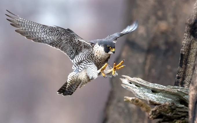 https://www.shutterstock.com/image-photo/peregrine-falcon-new-jersey-1039827799