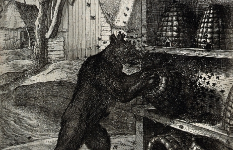 v0023013-a-bear-has-overturned-two-hives-and-is-trying-to-prize-out-h