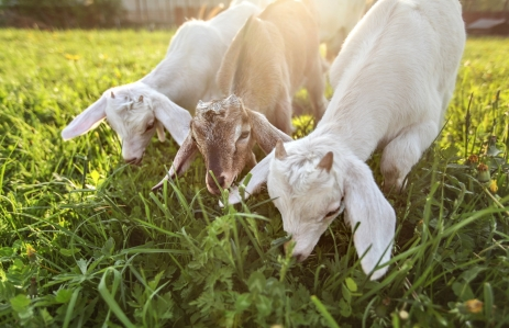 https://www.shutterstock.com/image-photo/three-goat-kids-grazing-on-meadow-1281840250
