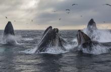 https://www.shutterstock.com/image-photo/pod-humpback-whales-lunge-feed-monterey-714057793