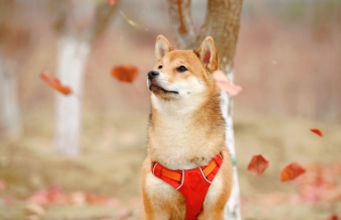 A shiba inu dog with leaves falling